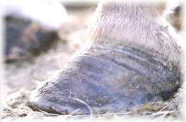 Fig 5: Chronic laminitic hoof growth