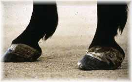 Fig 5: Unilateral laminitis or club foot