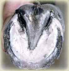 Radially orientated distended laminae of a round hoof