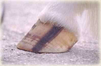 Fig 6: A normal striped hoof